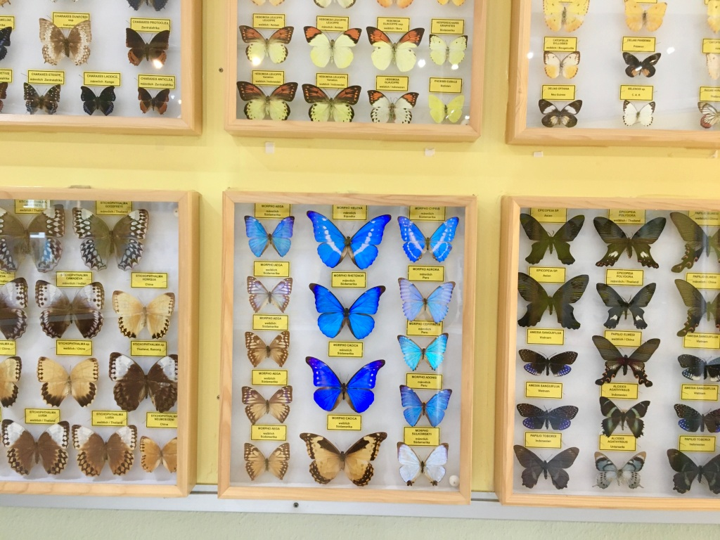 preserved butterflies at the insect museum in Steinhude Germany