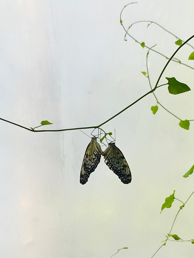 Live butterflies at the butterfly farm at Steinhude Germany