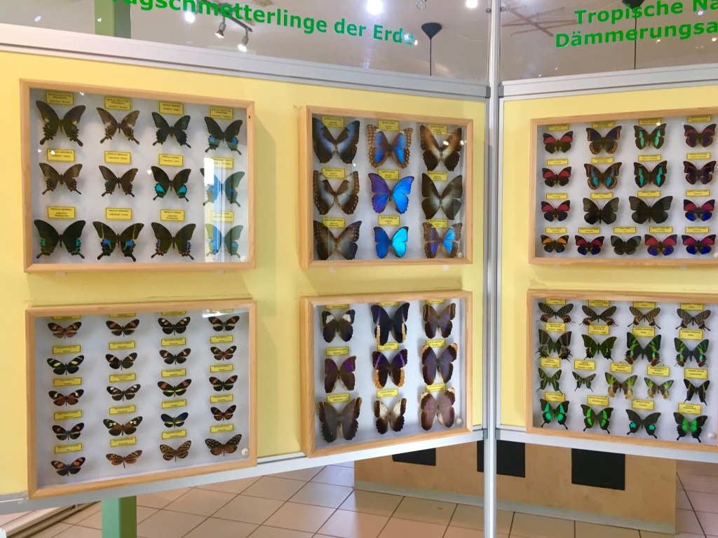 preserved colorful butterflies at the insect museum Steinhude Germany