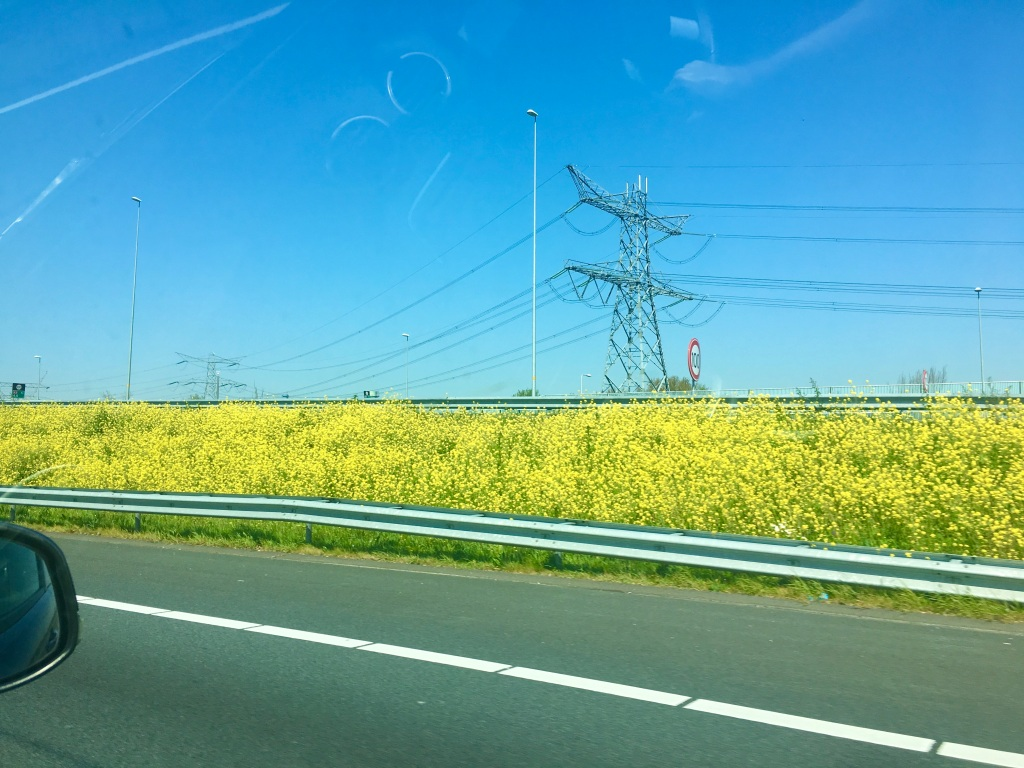 Yellow Rapeseed crop in a field in amsterdam