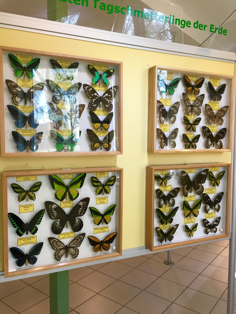 preserved butterflies at the insect museum Steinhude Germany